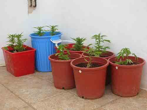 Ocultar el olor a plantas de marihuana