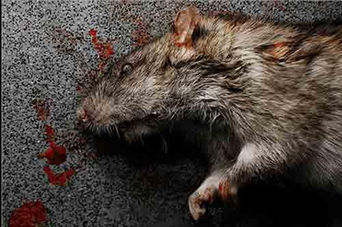 Cómo matar una rata sin crueldad