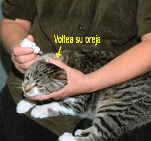 Inspecciona las orejas de tu gato