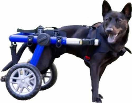 Cómo vaciar la vejiga de un perro con parálisis