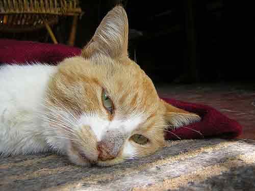 Cómo saber si a tu gato le duele algo