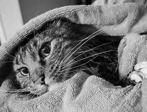 Envuelve al gato en una toalla