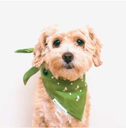 Coloca el pañuelo alrededor del cuello del perro