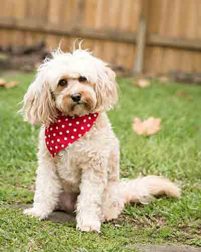 Cómo ponerle una bandana a tu perro