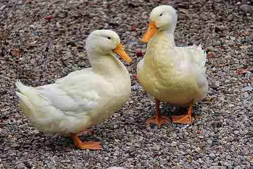 Compra el pato