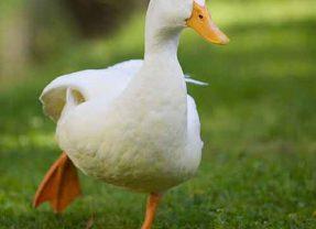 Cómo cuidar a un pato mascota