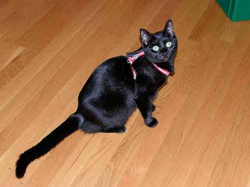 Ponle un arnés en forma de H a tu gato