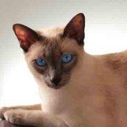 Cómo saber si un gato siamés es adecuado para ti