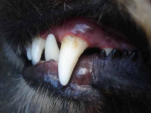Cuida la higiene dental de tu perro antes de que tenga problemas