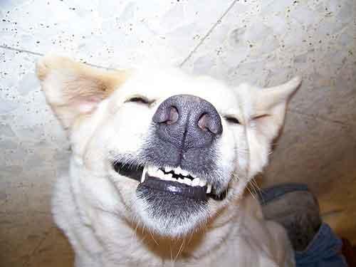 Limpia los dientes de tu perro con regularidad