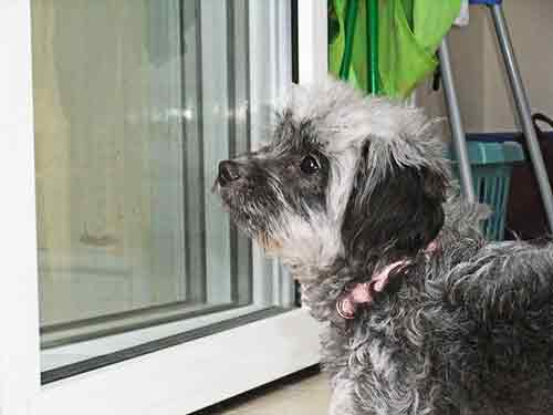Cachorro peludo color gris asommándose a través del vidrio de una ventana.