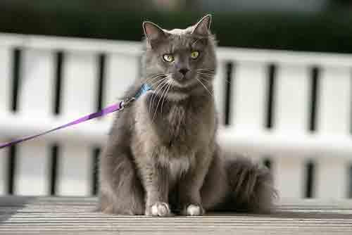 Cómo enseñar a un gato a caminar con correa